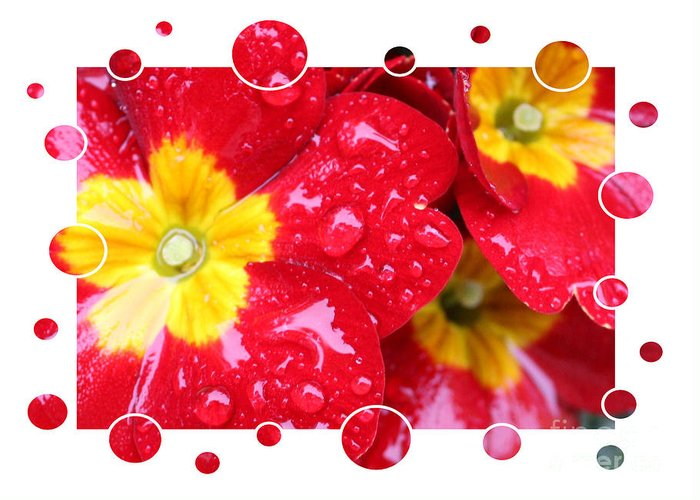 Primrose Greeting Card featuring the photograph Drops Upon Raindrops 4 by Carol Groenen
