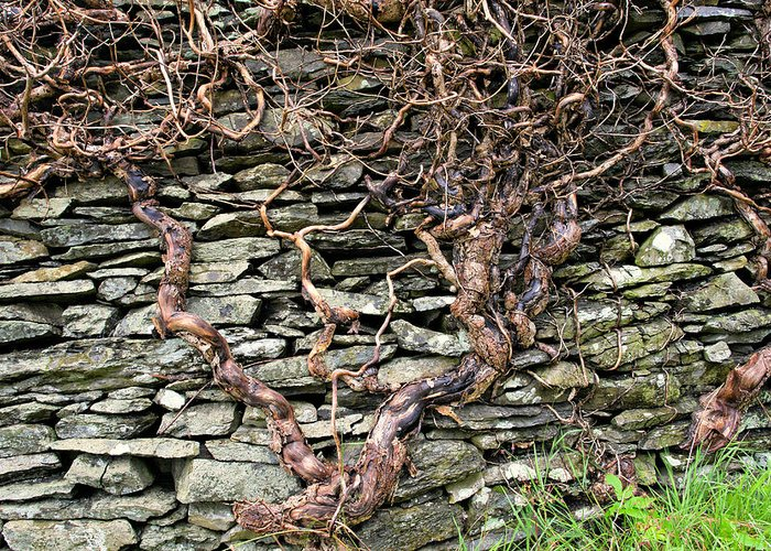 Stone Wall Greeting Card featuring the photograph Dry Stone Wall And Vine by Tom Wray