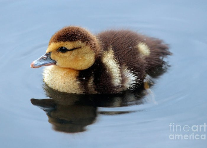 Baby Greeting Card featuring the photograph Duckling by Jeannie Burleson