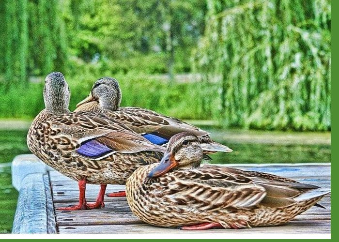 Greeting Card featuring the photograph Ducks by Laurie Prentice