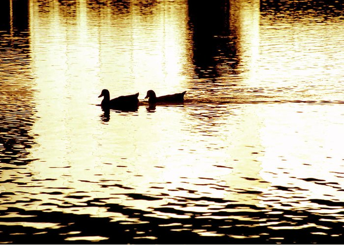 Silhouettes Greeting Card featuring the photograph Ducks On Pond 1 by Steve Ohlsen