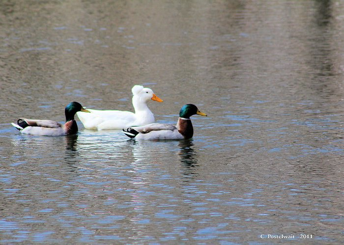 Ducks Greeting Card featuring the photograph Ducks On Pond by Carolyn Postelwait