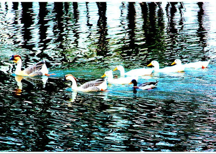 Ducks Greeting Card featuring the photograph Ducks by RJ Walker