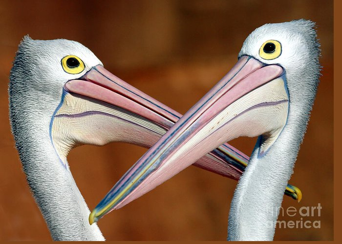 Duelling Pelicans Bird Australia Seabird Greeting Card featuring the photograph Duelling Pelicans by Sheila Smart Fine Art Photography