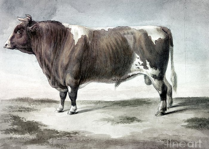 1856 Greeting Card featuring the photograph Durham Bull, 1856 by Granger