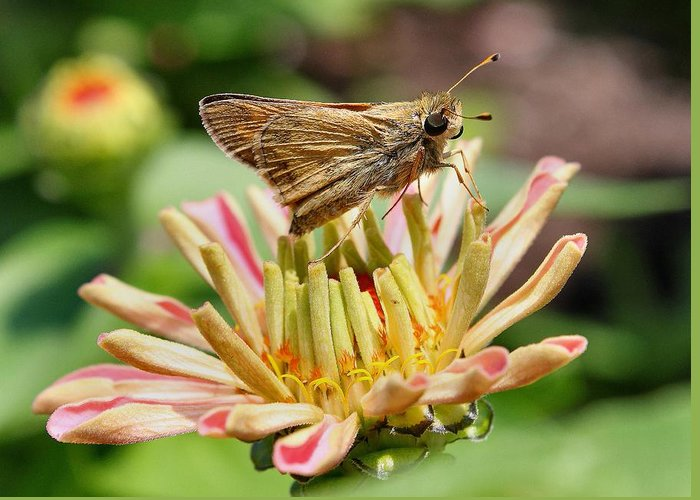 Butterfly Greeting Card featuring the photograph Dusky Skipper On New Zinnea by Scott Bricker