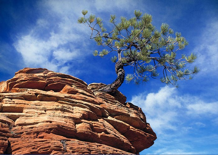 Zion Greeting Card featuring the photograph Dwarf Pine And Sandstone Zion Utah by Utah Images