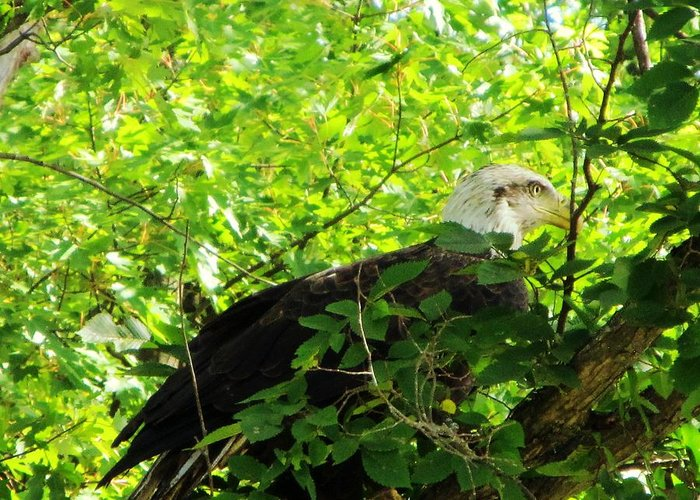 Bald Eagle Tree Feathers Beak Yellow White Brown Brances Outdoor Nature Wildlife Day Summer Sunshine Bird Greeting Card featuring the photograph Eagle In The Tree by Helen Barth