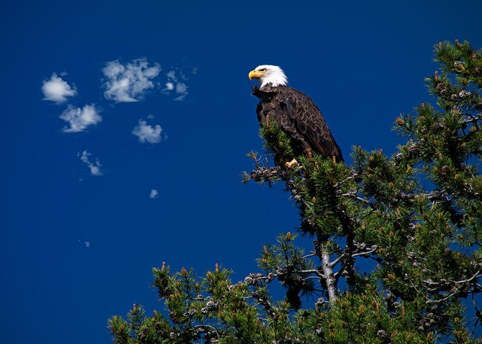 Eagle In The Sky Greeting Cards
