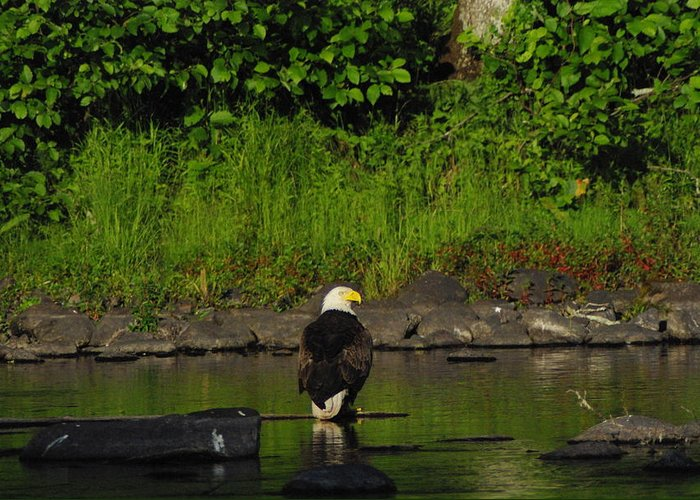 Eagle Greeting Card featuring the photograph Eagle On River Rock II by Alice Markham