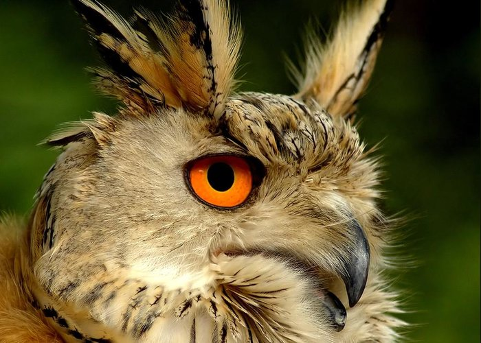 Wildlife Greeting Card featuring the photograph Eagle Owl by Jacky Gerritsen