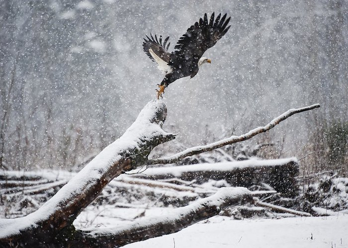 Bald Eagles Greeting Card featuring the photograph Eagle Takeoff In Snow by Yoshiki Nakamura