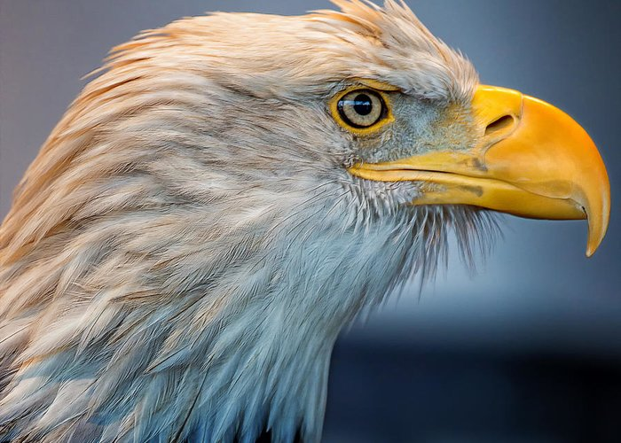 Eagle Greeting Card featuring the photograph Eagle With An Attitude by Bill Tiepelman