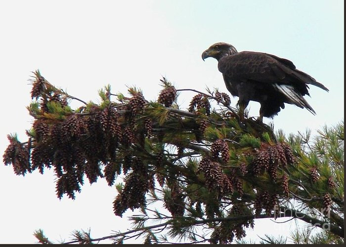Immature Bald Eagle Greeting Card featuring the photograph Eaglet In Pines by Karen Velsor