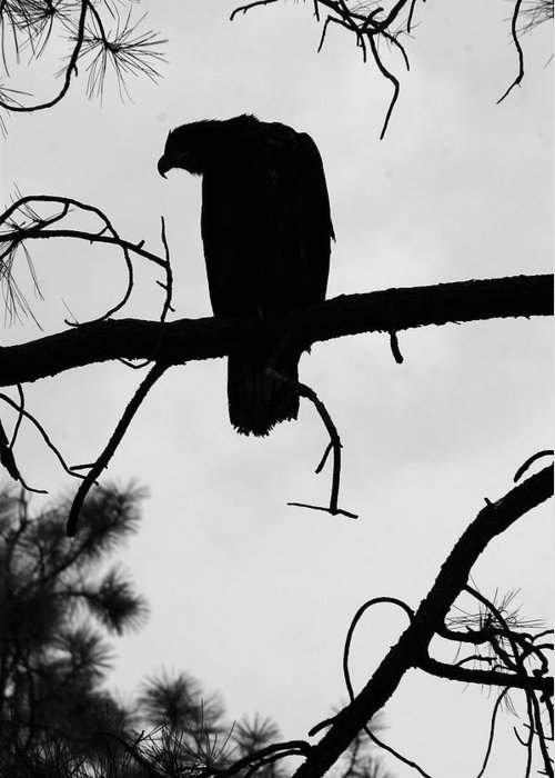 Nature Greeting Card featuring the photograph Eaglet Silhouette by MH Ramona Swift