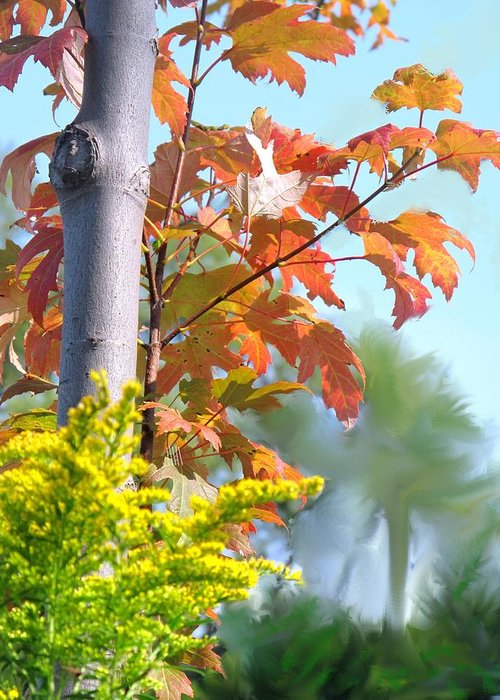 Maple Greeting Card featuring the photograph Early Autumn by Ian MacDonald
