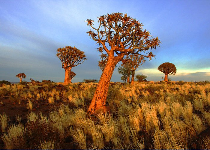 Namibia-aloe Tree Greeting Card featuring the photograph Early Light by John Bradford