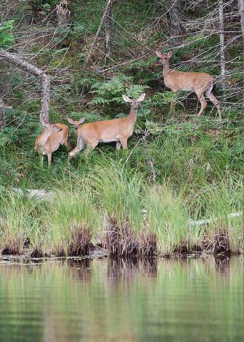 Whitetail Greeting Card featuring the photograph Early Morning At The Lake by Michael Peychich