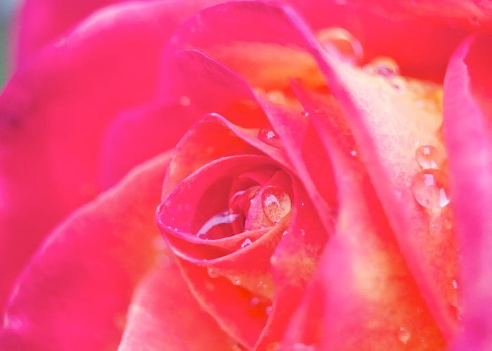Rose Greeting Card featuring the photograph Early Morning Rose by Ashley Balkan