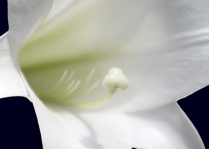 Floral Greeting Card featuring the photograph Easter Lily by Ayesha Lakes
