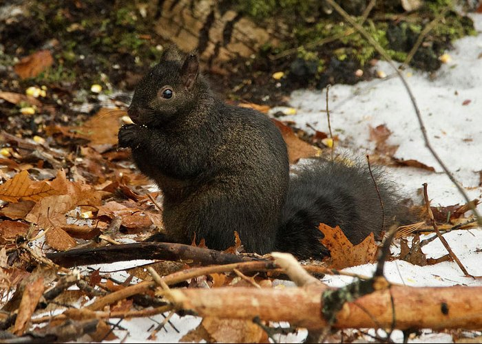 Gray Greeting Card featuring the photograph Eastern Gray Squirrel Black Morph by Michael Peychich