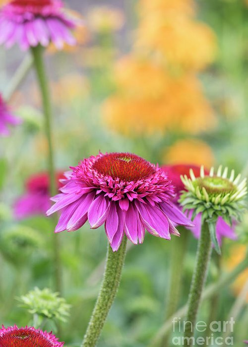 Echinacea Catharina Red Greeting Card featuring the photograph Echinacea Catharina Red by Tim Gainey