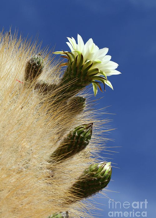 Flowering Cactus Greeting Card featuring the photograph Echinopsis Atacamensis Cactus In Flower by James Brunker