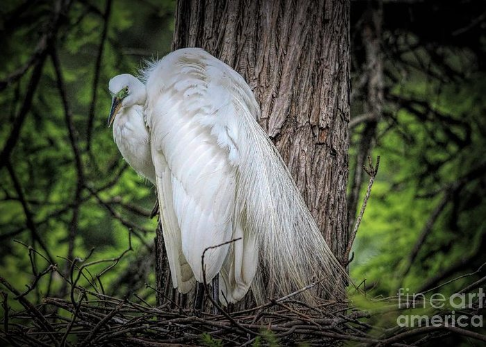 Great White Egret Greeting Card featuring the photograph Egret - 2679 by Paulette Thomas