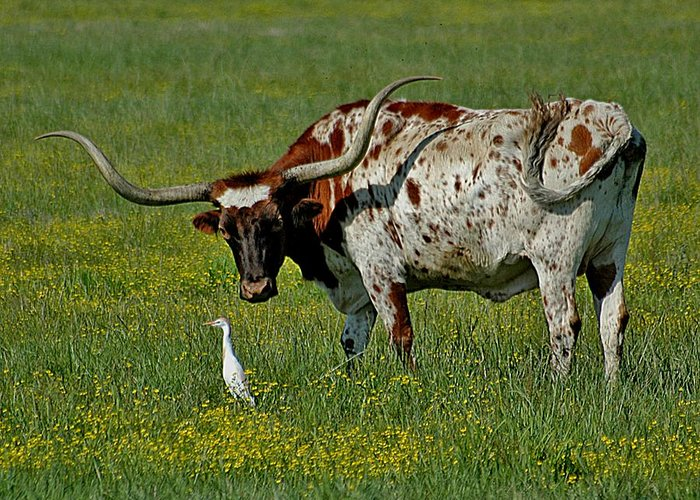 Long Horn Steer Greeting Card featuring the photograph Egret And Long Horn by Bob Guthridge