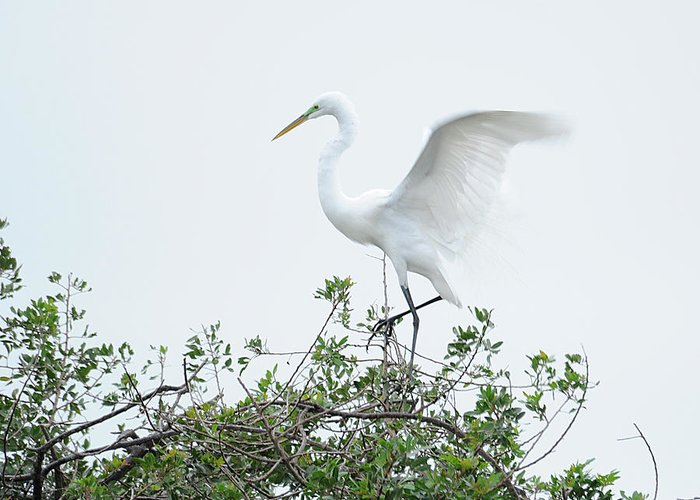 Egret Greeting Card featuring the photograph Egret Balance by Keith Lovejoy