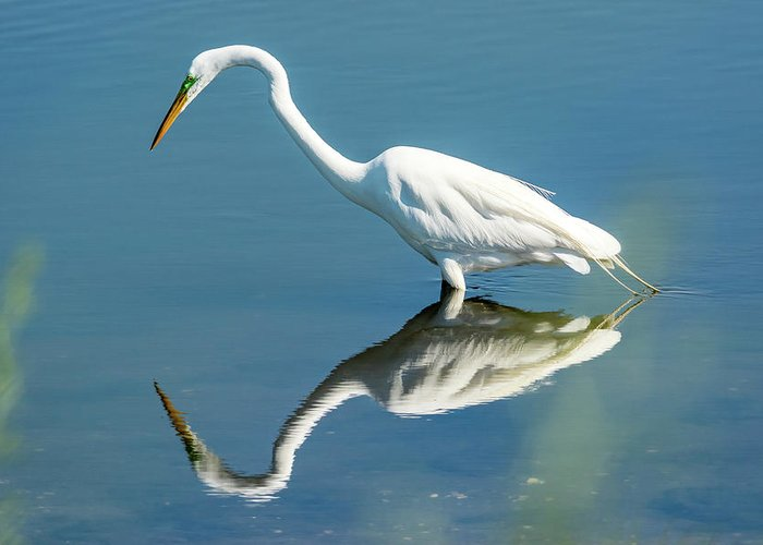 Reflection Greeting Card featuring the photograph Egret Reflecting by Michelle Olivier