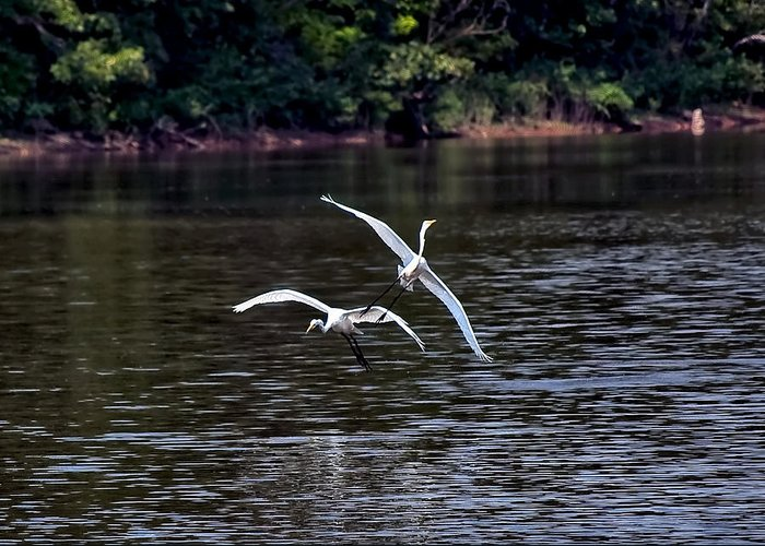 Egrets Greeting Card featuring the photograph Egrets V by Gary Adkins