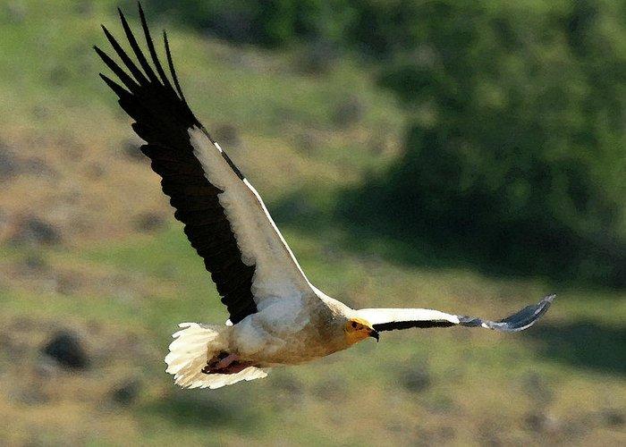 Egyptain Vulture In Flight Greeting Card featuring the photograph Egyptain Vulture In Flight by Cliff Norton