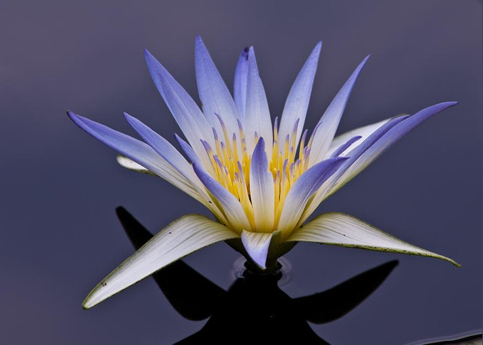 egyptian lotus greeting card for sale by louis dallara