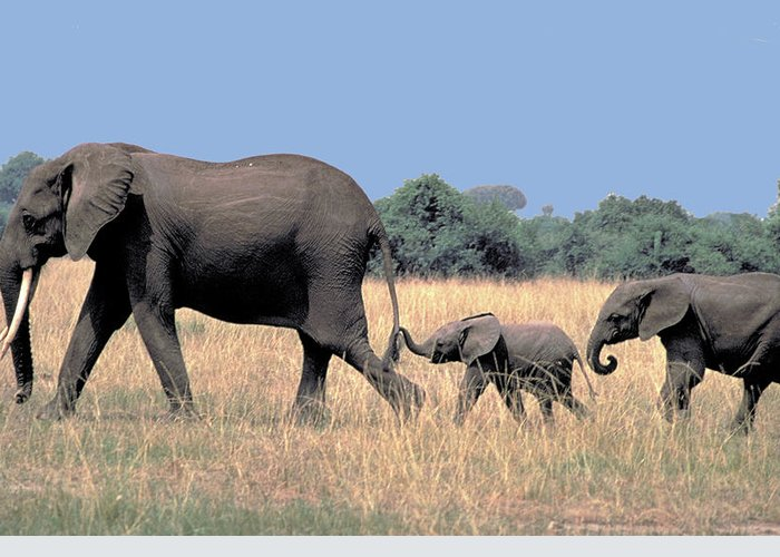Elephant Greeting Card featuring the photograph Elephant Family by Carl Purcell