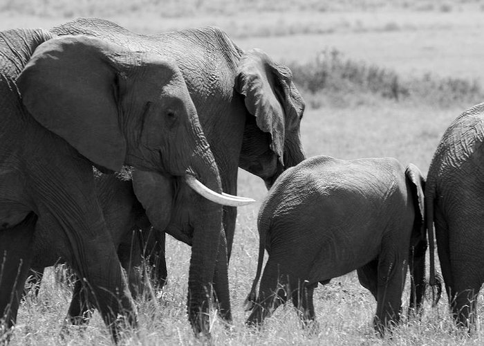 Elephant Greeting Card featuring the photograph Elephant Herd by Aidan Moran