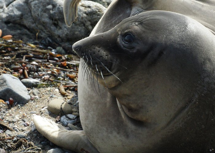 Elephant Seals Greeting Card featuring the photograph Elephant Seal by Ernie Echols
