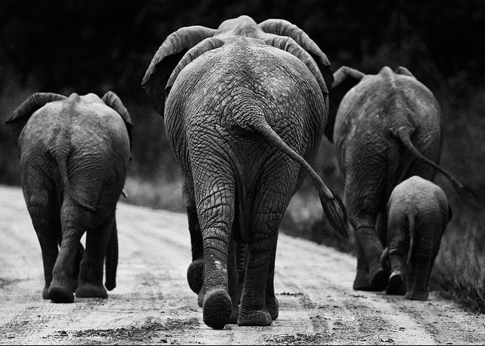 Africa Greeting Card featuring the photograph Elephants In Black And White by Johan Elzenga
