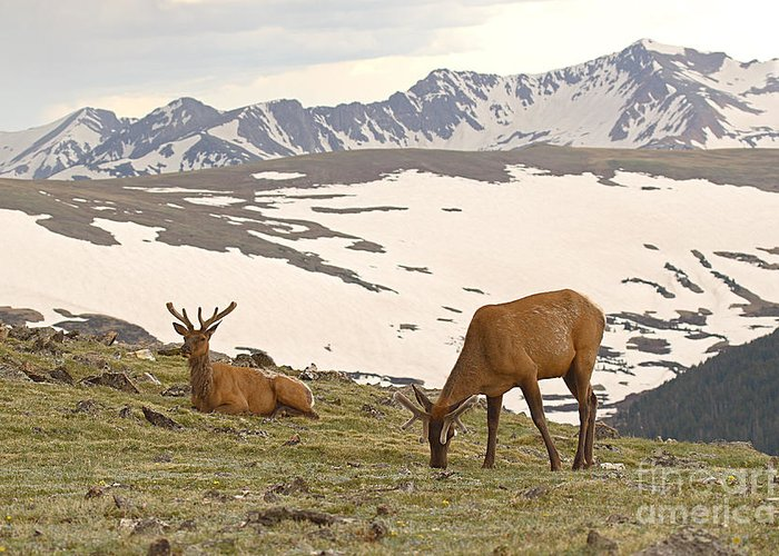 Elk Greeting Card featuring the photograph Elk Bulls In The Highlands Of Colorado by Max Allen