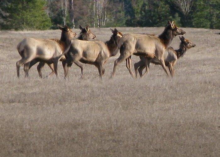 Elk Greeting Card featuring the photograph Elk Herd by Robert Bissett