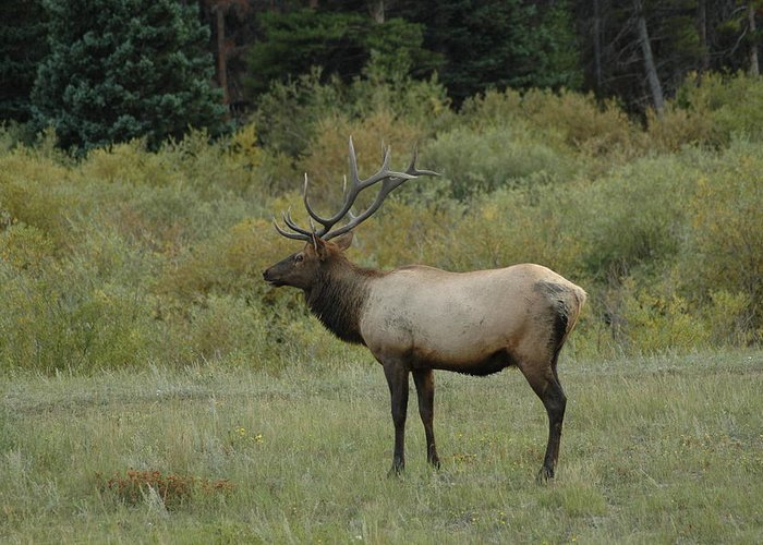 Elk Greeting Card featuring the photograph Elk by Kathy Schumann