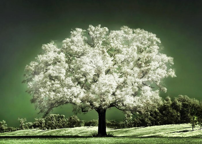 Blossoming Cherry Tree Greeting Cards