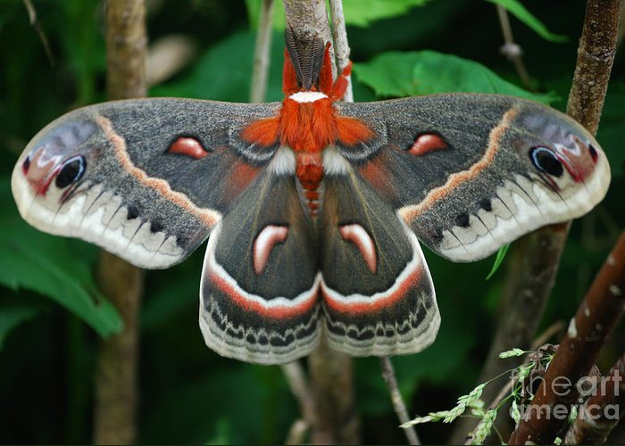 Cecropia Moth Greeting Card featuring the photograph Emergence by Randy Bodkins