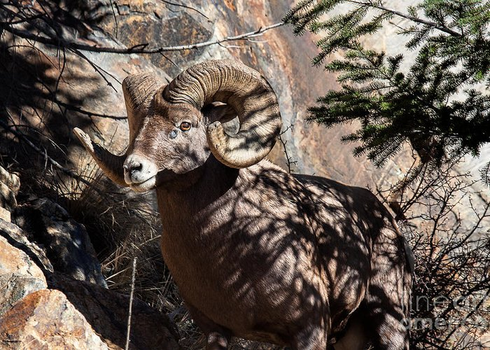 Bighorn Sheep Greeting Card featuring the photograph Emerging Ram by Jim Garrison