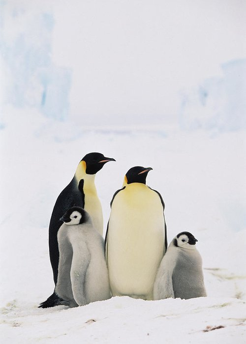 Mp Greeting Card featuring the photograph Emperor Penguin Aptenodytes Forsteri by Konrad Wothe