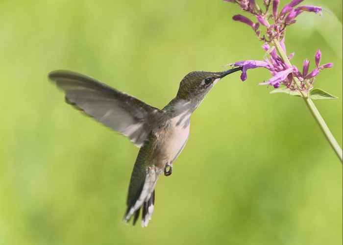 Hummingbird Greeting Card featuring the photograph En Vol by Jean-Pierre Ducondi