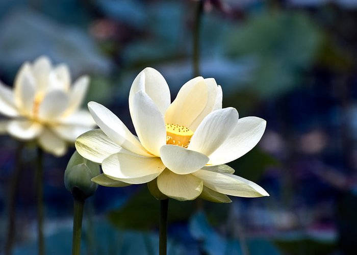 Lotus Greeting Card featuring the photograph Enchanting Lotus by Rich Leighton