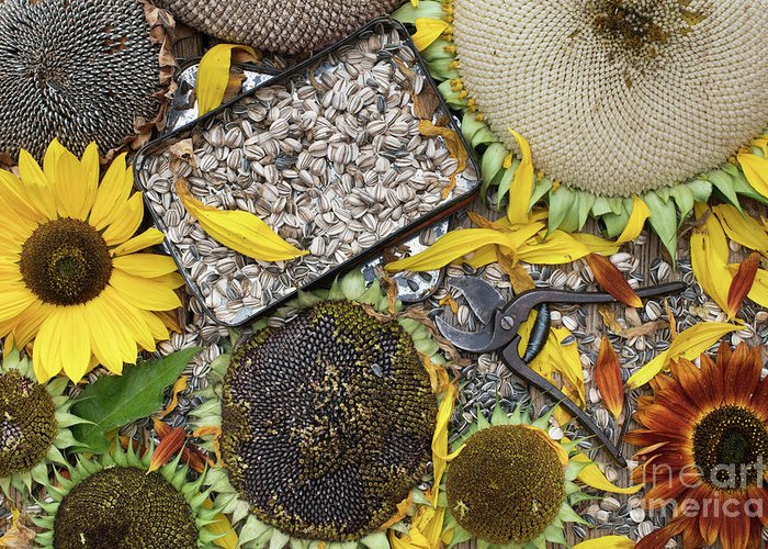 Helianthus Annuus Greeting Card featuring the photograph End Of Season by Tim Gainey