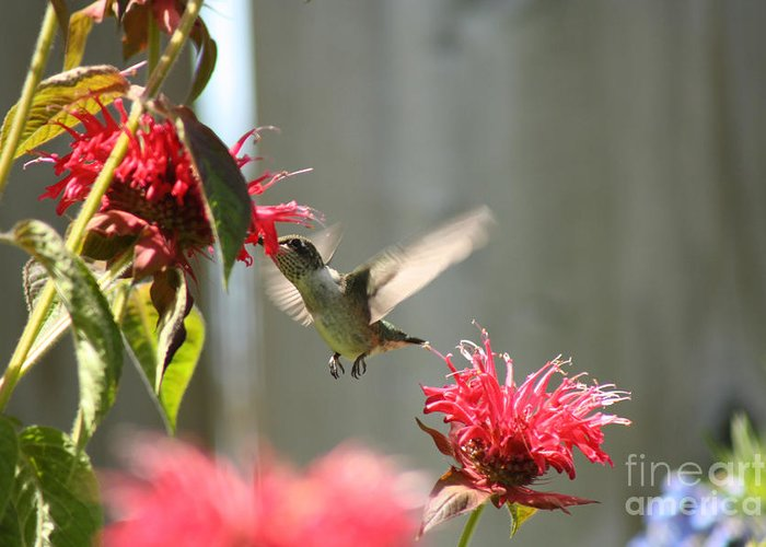 Hummingbird Greeting Card featuring the photograph Enjoying The Bee Balm by Cathy Beharriell