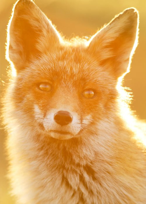 Red Fox Greeting Card featuring the photograph Enlightened Fox by Roeselien Raimond